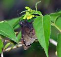 dark skipper - Thorybes pylades