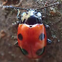 Beetle - Endomychus biguttatus