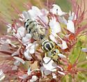 large wasp