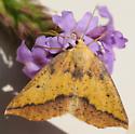 Neoterpes edwardsata