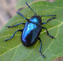 Milkweed Beetle - Chrysochus cobaltinus