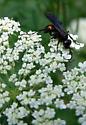 Spider Wasp - Anoplius ? - Anoplius semicinctus
