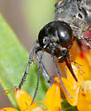 Thread -Waisted Wasp - Ammophila procera - female