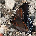 Red Spotted Purple - MN May - Limenitis arthemis