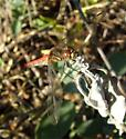 Striped Meadowhawk - Sympetrum pallipes