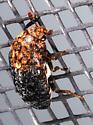 Brown & Black Hairy Beetle - Dermestes talpinus