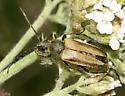 Flower Longhorn - Lepturobosca chrysocoma