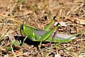 Schistocerca lineata - female