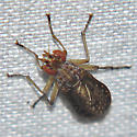 Marsh Fly - Limnia shannoni
