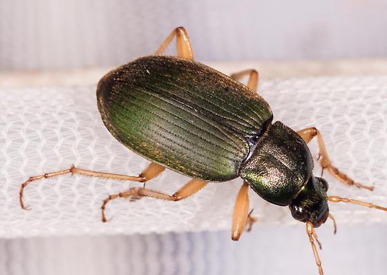 Beetle for ID - Chlaenius sericeus