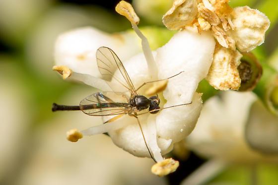 Lygistorrhina - Lygistorrhina sanctaecatharinae - male