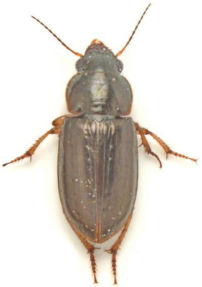 Selenophorus palliatus - female