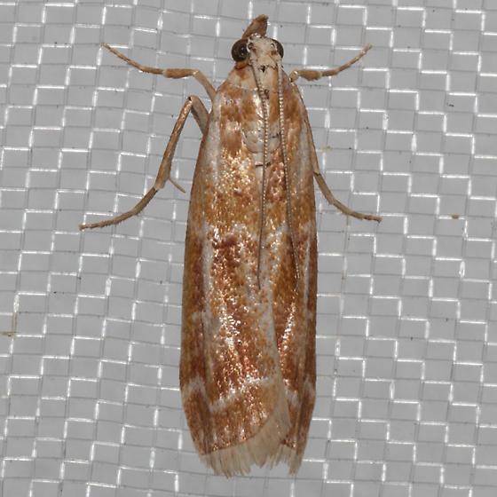 Ponderosa Pine Coneworm Moth - Dioryctria auranticella