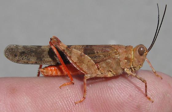 Trimerotropis latifasciata - male