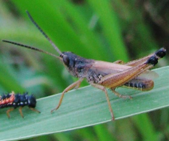 Is this Chorthippus curtipennis? - Chorthippus curtipennis - male