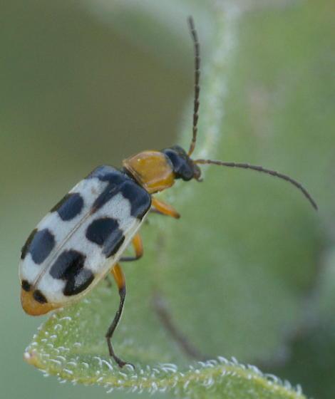 Black, white, and yellow beetle - Paranapiacaba tricincta
