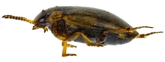 Uvarus? - Liodessus obscurellus