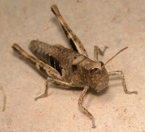 Grasshopper with short wings - Chloealtis conspersa - female