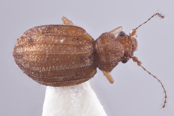 Dasycerus concolor