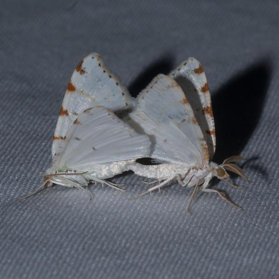 Macaria pustularia - male - female
