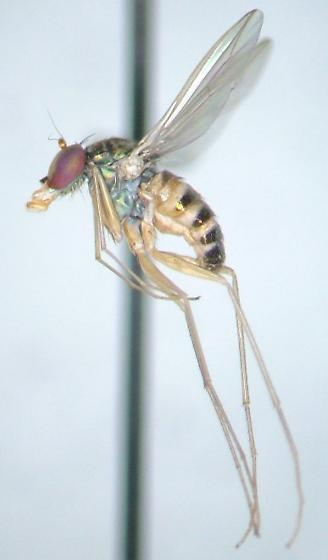 Extra-long-legged long-legged fly - Dactylomyia lateralis - female