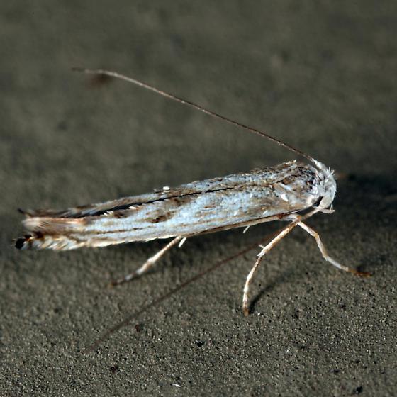 small moth - Lyonetia prunifoliella