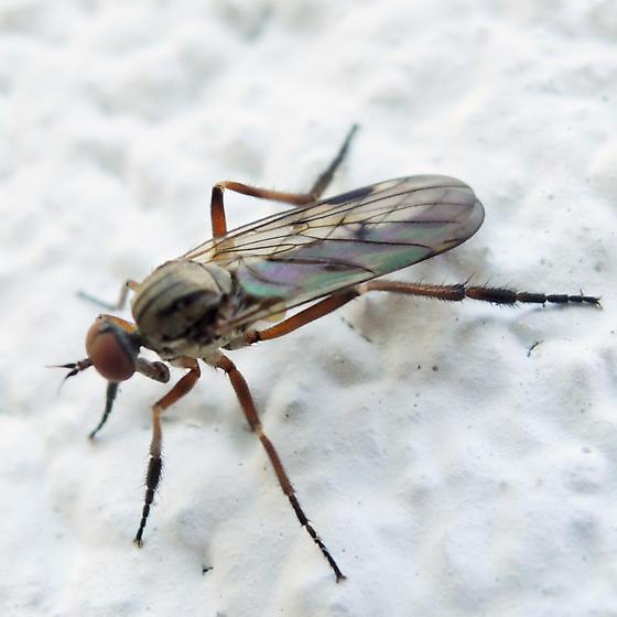 dance fly - Rhamphomyia - male