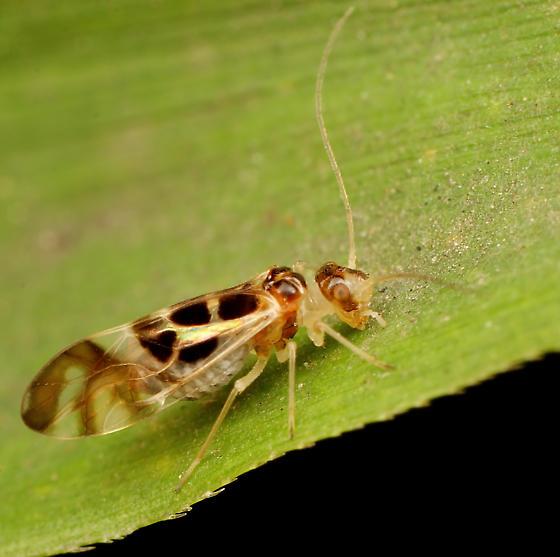 Psocid - Graphopsocus cruciatus