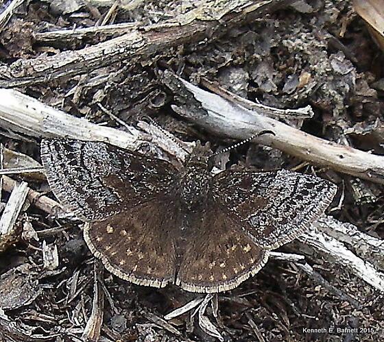 Dreamy Duskywing (Erynnis icelus) - Erynnis icelus