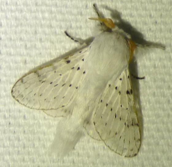 Artace cribrarius - Dot-lined White - Artace cribrarius