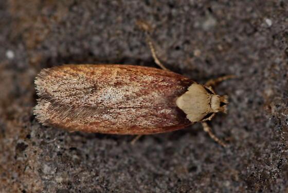 Moth ID request - Depressaria depressana