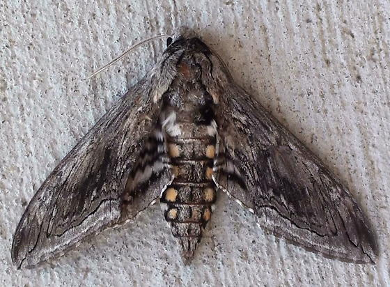 Sphingidae: Manduca quinquemaculatus? - Manduca quinquemaculatus
