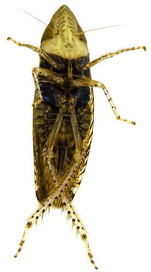 Female, Scaphytopius subgenus Cloanthanus? - Scaphytopius - female