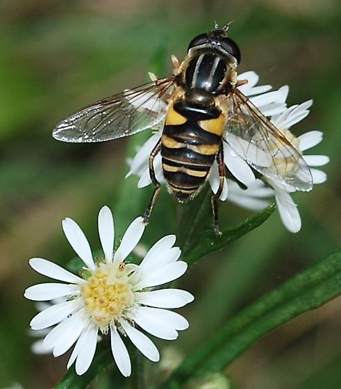 hover fly on aster late October - Helophilus