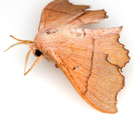 Lacosoma arizonicum? - Lacosoma arizonicum
