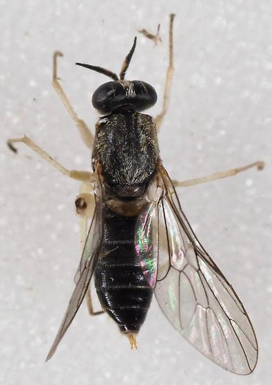 Unknown Fly Xylomyidae perhaps - Solva