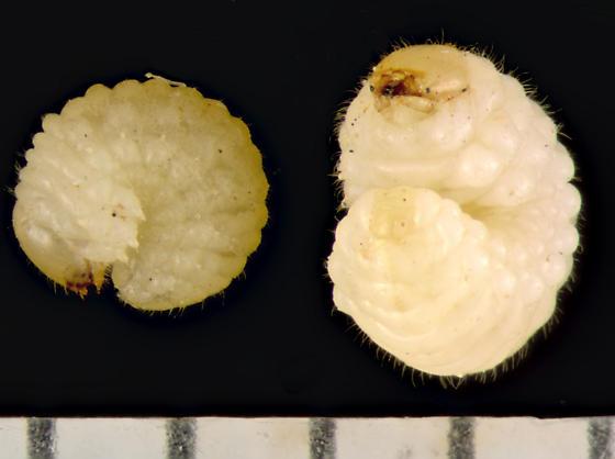 Anthribidae larvae from Sneezeweed  - Trigonorhinus limbatus