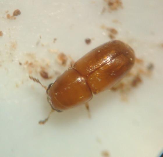 Ciidae, Octotemnuslaevis?