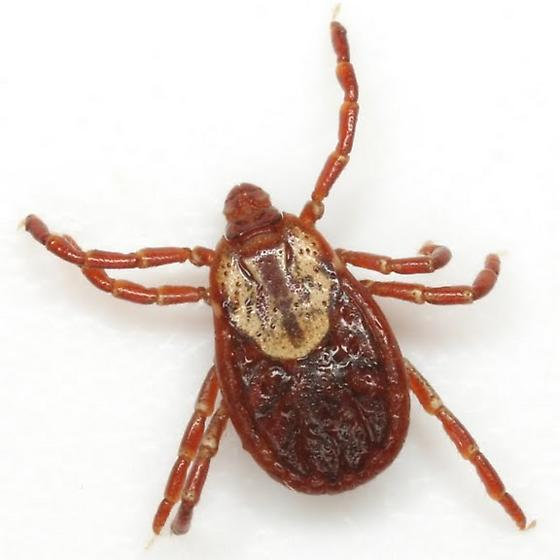 American Dog Tick - Dermacentor variabilis - female