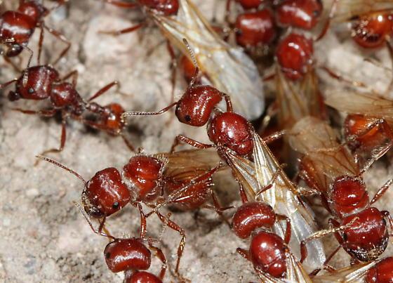 Harvester Ant alates - Pogonomyrmex - female