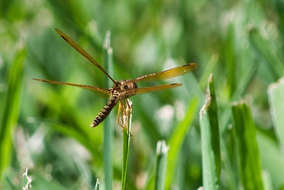 Fly - Perithemis tenera - male