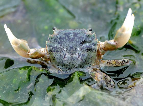 Oregon Shore Crab - Hemigrapsus oregonensis
