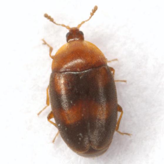 Clypastraea