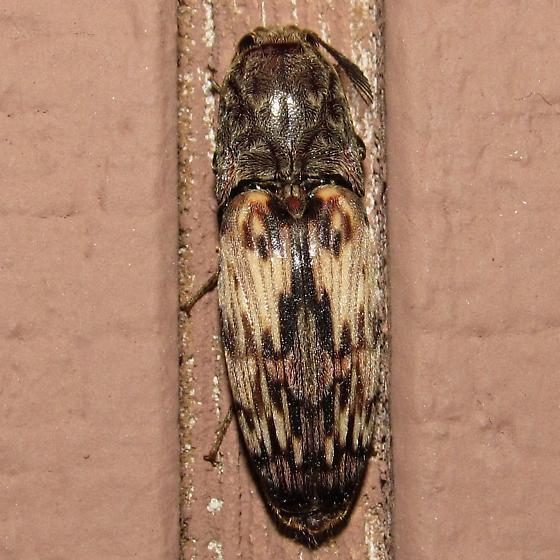 moth sp? - Pherhimius fascicularis