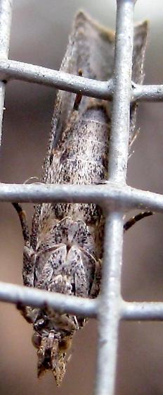 Ventral view - Pyramidobela angelarum
