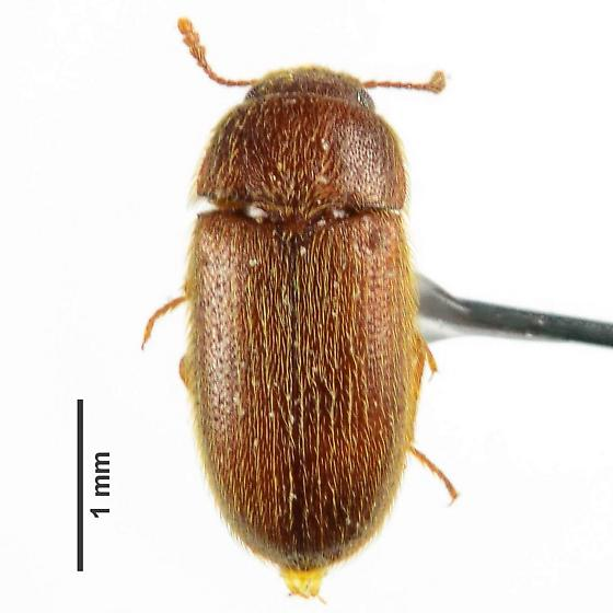 mycetophagid? - Typhaea stercorea