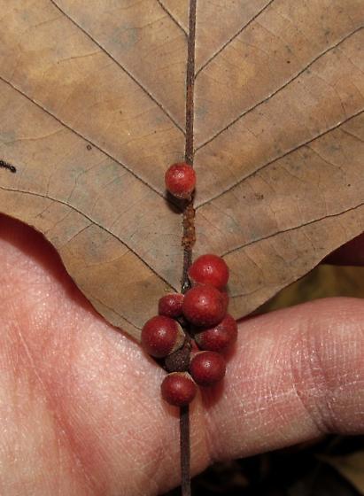Oak galls - Andricus dimorphus