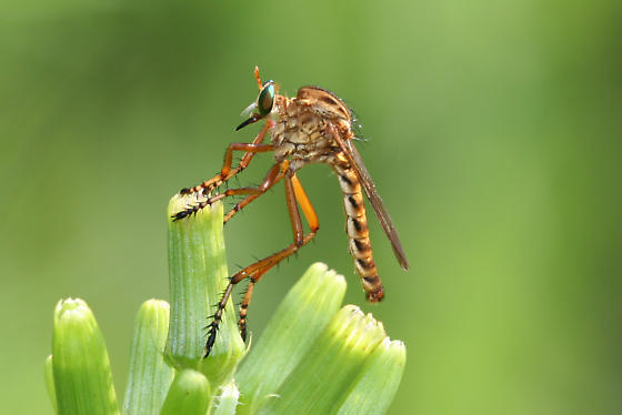Hanging-theives Robber Fly - Diogmites properans