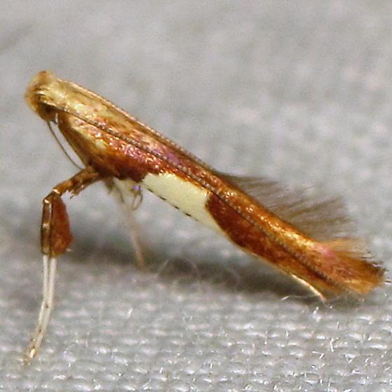Caloptilia sp. III - Caloptilia