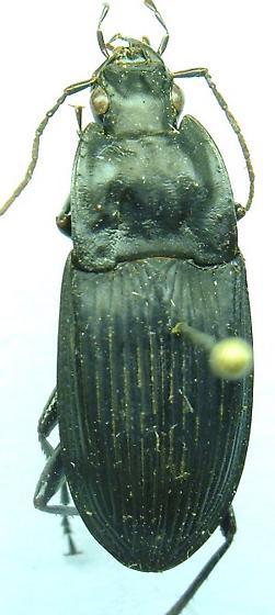 Dicaelus - Dicaelus elongatus